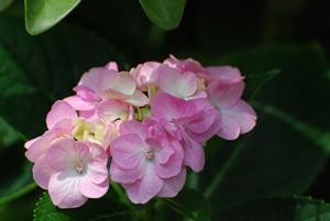 牛窓福岡屋旅館の紫陽花